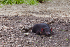Tasmanian Devil relaxing on the ground - closeup Stock Photo