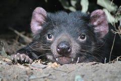 Tasmanian Devil. Resting in forest nook stock photography