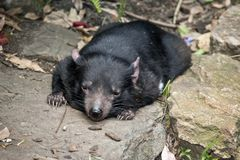 A tasmanian devil royalty free stock photography