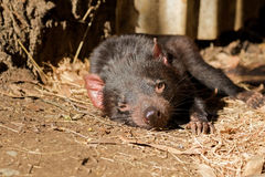 Tasmanian devil resting on ground in the sun, afternoon in Tasmania, Australia. Sarcophilus Harrisii stock image