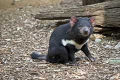 A Tasmanian devil royalty free stock image