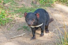 Tasmanian Devil. The Tasmanian Devil Sarcophilus harrisii is a carnivorous marsupial of the family Dasyuridae. It is now found in the wild only on the island stock images