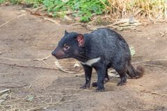 Tasmanian Devil. The Tasmanian Devil Sarcophilus harrisii is a carnivorous marsupial of the family Dasyuridae. It is now found in the wild only on the island royalty free stock photo