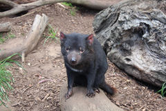 Tasmanian Devil. Sarcophilus harrisii, the Tasmanian Devil is a carnivorous marsupial the size of a small dog stock photography
