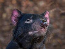 Tasmanian devil (Sarcophilus harrisii) stock photos