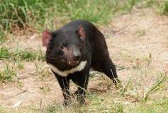 Tasmanian devil. (Sarcophilus harrisii) is an endemic Australian endangered carnivorous marsupial stock photography