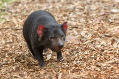 Tasmanian devil Sarcophilus harrisii royalty free stock photos