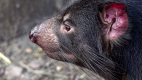 Tasmanian devil. (Sarcophilus harrisii) seen from the side stock image