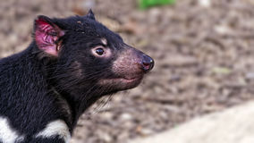 Tasmanian devil (Sarcophilus harrisii). Seen from the side stock images
