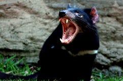 Tasmanian devil. (Sarcophilus harrisii) snarling stock photography