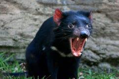 Tasmanian devil. (Sarcophilus harrisii) snarling royalty free stock photography