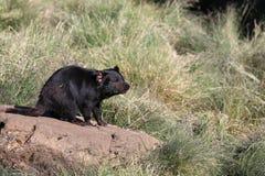 Tasmanian Devil. (Sarcophilus harrisii) in Tasmania. Australia stock photos