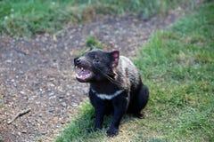 Tasmanian Devil. (Sarcophilus harrisii) in Tasmania. Australia stock photo