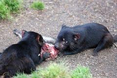 Tasmanian Devil. (Sarcophilus harrisii) in Tasmania. Australia royalty free stock image