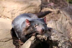 Tasmanian Devil Royalty Free Stock Images