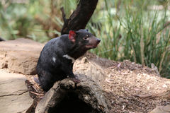 Tasmanian Devil Royalty Free Stock Photo