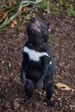 Tasmanian Devil Sarcopilus Harrisii stock images