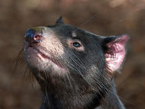 Tasmanian Devil (Sarcopilus Harrisii) royalty free stock photography