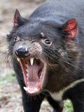 Tasmanian Devil (Sarcopilus Harrisii). Closeup portrait of the Tasmanian Devil with open mouth royalty free stock photo