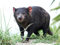 Tasmanian Devil (Sarcopilus Harrisii) Royalty Free Stock Images
