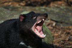 Tasmanian Devil Screaming Stock Images