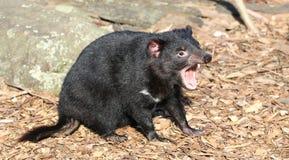 Tasmanian Devil. Screeches in the wilderness stock image