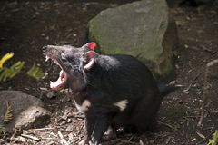 A Tasmanian devil snarling stock photo