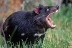 Tasmanian devil. Showing teeth stock image