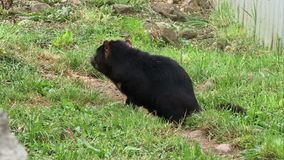 Tasmanian Devil on grass in Tasmania. Tasmanian devil sitting on grass in Tasmania Australia stock video
