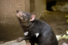 A Tasmanian devil stock photos