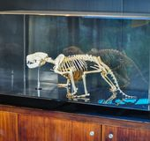 Tasmanian devil skeleton shows in the glass display box. royalty free stock photos