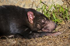 Tasmanian Devil sleeping in the grass stock images