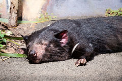 Tasmanian Devil Sleeping in the Sunlight. Tasmanian Devil (Sarcophilus harrisii) fast asleep with head down on a concrete path in the sunlight royalty free stock image