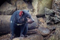 Tasmanian Devil. A Tasmanian Devil, a small marsupial native to the Australian island of Tasmania stock photos