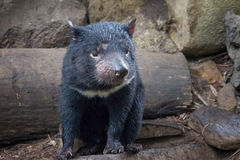Tasmanian Devil. A Tasmanian Devil, a small marsupial native to the Australian island of Tasmania Stock Image
