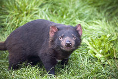 Tasmanian Devil stare. The Tasmanian Devil is a carnivorous marsupial now found in the wild only in the Australian island state of Tasmania. The size of a small royalty free stock images