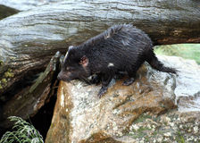 Tasmanian Devil, Tasmania, Australia Stock Photos