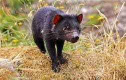 Tasmanian Devil. Predator Animal awaiting feeding time in wildlife sanctuary near Devenport Tasmania Australia stock photography