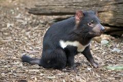 A Tasmanian devil. The Tasmanian devil is resting on leaves stock photography