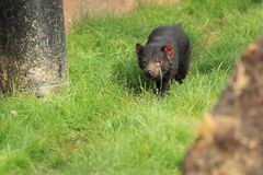 Tasmanian devil. Strolling in the grass stock images