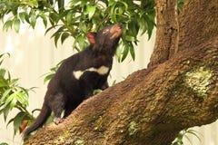 Tasmanian Devil Tree Climbing Stock Photos