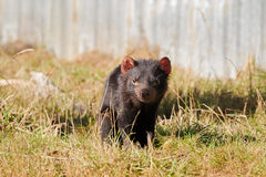 Tasmanian devil walking on green field in the sun, afternoon in Tasmania, Australia. Sarcophilus Harrisii royalty free stock photos
