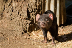 Tasmanian devil walking sniffing the air in the sun, afternoon in Tasmania, Australia. Sarcophilus Harrisii stock images