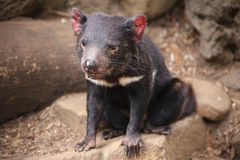 Tasmanian Devil Stock Photos