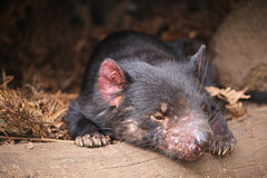 Tasmanian Devil. A young Tasmanian devil at a sanctuary in Tasmania, Australia royalty free stock image