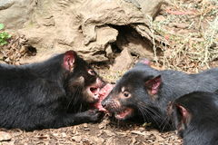 Tasmanian Devils. Two cute little Tasmanian Devils figthing over a piece of carrion on the ground. Location: Tasmania, Australia royalty free stock image