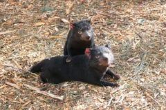 Free Tasmanian Devils At Bonorong Royalty Free Stock Photo - 127747235
