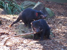 Tasmanian devils are in danger of extinction royalty free stock photography