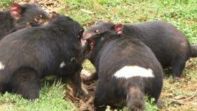 Tasmania devils dragging food around. Tasmanian devils dragging their food around stock video