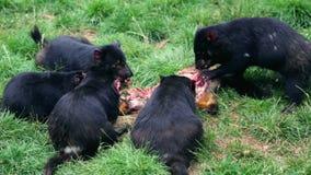 Tasmanian Devils feeding stock video